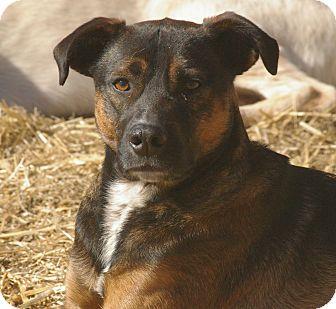 Bullmastiff Mix Dog for adoption in Glastonbury, Connecticut - Lola