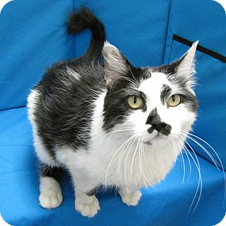 Domestic Mediumhair Cat for adoption in Springfield, Illinois - Smudge