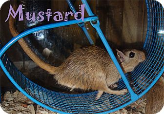 Gerbil for adoption in Edmonton, Alberta - Mustard