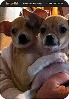 Chihuahua Dog for adoption in Cave Creek, Arizona - Tina