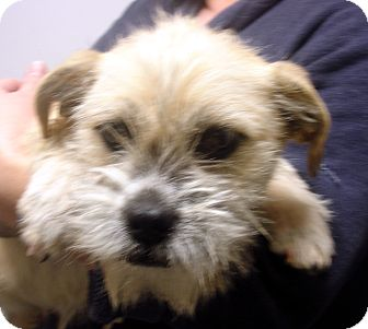 Cairn Terrier Mix Dog for adoption in Greencastle, North Carolina - Norma Rae