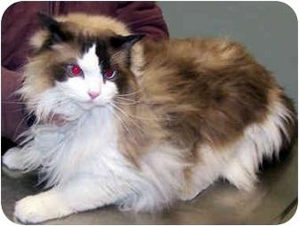 Ragdoll Cat for adoption in Ardsley, New York - Didley