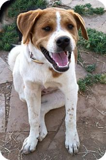 Hound (Unknown Type)/Akita Mix Dog for adoption in Chino Valley, Arizona - Coco