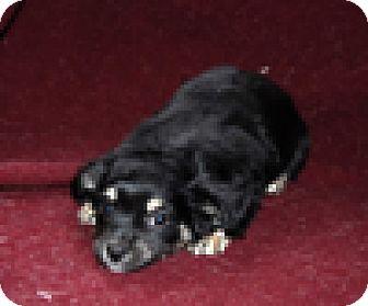 Poodle (Miniature)/Chihuahua Mix Puppy for adoption in Portola, California - Penelope