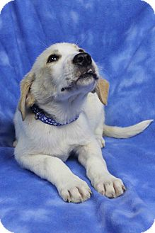 Great Pyrenees Mix Puppy for adoption in Westminster, Colorado - Fort Worth