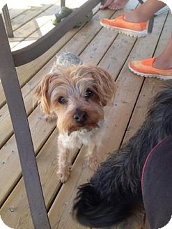 Yorkie, Yorkshire Terrier Dog for adoption in Edmonton, Alberta - Murphy