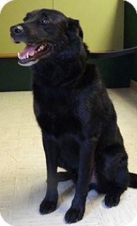 Labrador Retriever Mix Dog for adoption in Columbus, Nebraska - Bo