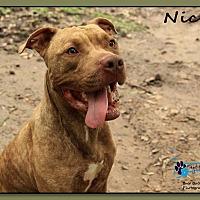 Adopt A Pet :: Nick - Sarasota, FL
