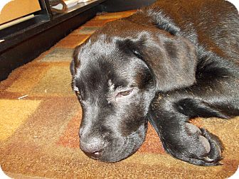 "Mastiff/Labrador Retriever Mix Puppy for adoption in Woodstock, Ontario - Junior ""BJ"""