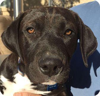 Mastiff/Labrador Retriever Mix Puppy for adoption in Phoenix, Arizona - Tara