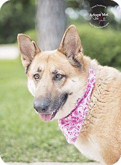 German Shepherd Dog Dog for adoption in Kingwood, Texas - Inga