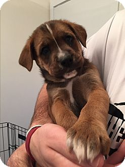 Retriever (Unknown Type) Mix Puppy for adoption in Staunton, Virginia - Mo