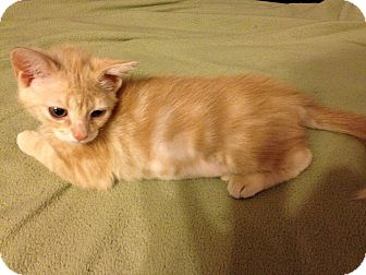 American Shorthair Kitten for adoption in Plano, Texas - Punkin
