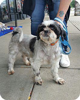 Shih Tzu Dog for adoption in Lexington, Kentucky - Rerun