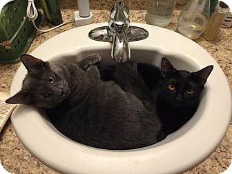 Domestic Shorthair Cat for adoption in San Dimas, California - Kit
