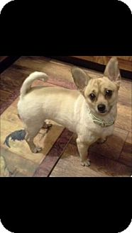Pomeranian/Chihuahua Mix Dog for adoption in Greenville, Rhode Island - Gracie