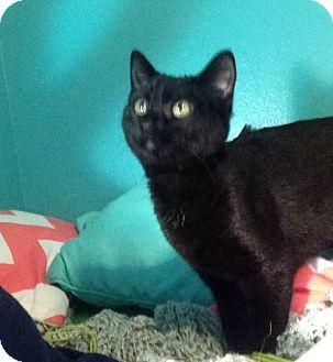 Domestic Shorthair Kitten for adoption in Des Moines, Iowa - Nancy