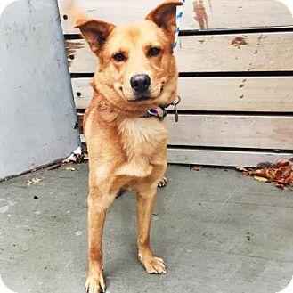Shepherd (Unknown Type) Mix Dog for adoption in Denver, Colorado - Durango