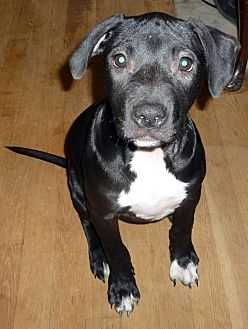 Terrier (Unknown Type, Medium)/Labrador Retriever Mix Puppy for adoption in Detroit, Michigan - Lapis