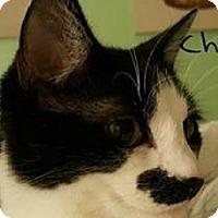 Adopt A Pet :: Charlie Chaplin - St. Charles, MO