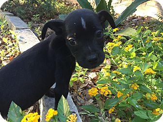 Miniature Pinscher/Rat Terrier Mix Puppy for adoption in Boerne, Texas - Doolittle