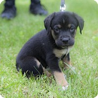 Adopt A Pet :: Puppy Wesson - Harvard, IL