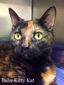 Domestic Shorthair/Domestic Shorthair Mix Cat for adoption in Annapolis, Maryland - Baby Kitty Kat