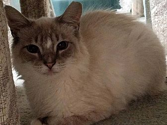 Siamese Cat for adoption in Toms River, New Jersey - Lance