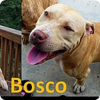 Adopt A Pet :: Bosco - Flint, MI