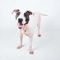 Bull Terrier Mix Dog for adoption in Decatur, Georgia - Petra