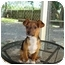Photo 1 - Terrier (Unknown Type, Medium)/Chihuahua Mix Puppy for adoption in Baton Rouge, Louisiana - Boudreaux