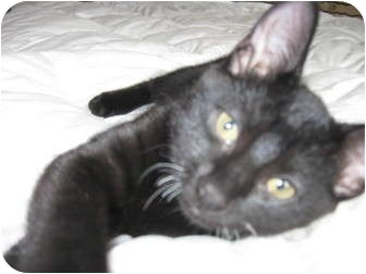 Domestic Shorthair Kitten for adoption in Beverly, Massachusetts - Midnight