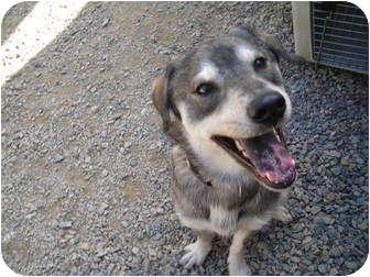 Siberian Husky Mix Dog for adoption in Libby, Montana - Hunter