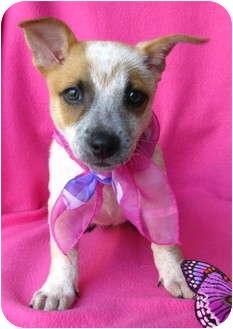 Australian Cattle Dog/Australian Shepherd Mix Puppy for adoption in Irvine, California - Ruby
