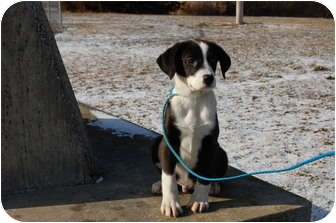 Labrador Retriever Mix Puppy for adoption in North Judson, Indiana - Ty