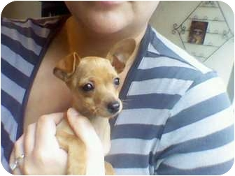 Miniature Pinscher/Chihuahua Mix Puppy for adoption in Mission Viejo, California - Little Miss Peanut