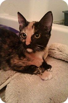 Domestic Shorthair Kitten for adoption in Chandler, Arizona - Min min and Sis
