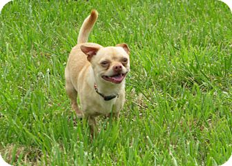 Chihuahua Mix Dog for adoption in South Haven, Michigan - Ernie