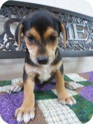 Cattle Dog Mix Puppy for adoption in East Hartford, Connecticut - Paisley ADOPTION PENDING