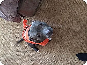 American Staffordshire Terrier/Pit Bull Terrier Mix Dog for adoption in San Diego, California - Marvin