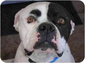 American Bulldog Dog for adoption in LAS VEGAS, Nevada - Kona