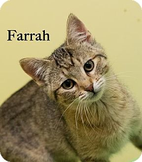 Domestic Shorthair Kitten for adoption in West Des Moines, Iowa - Farrah