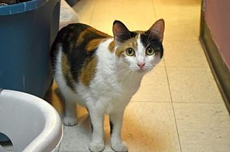 Domestic Shorthair Cat for adoption in Milwaukee, Wisconsin - Pecan