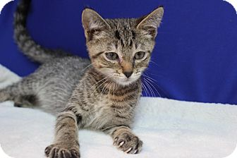 Domestic Shorthair Kitten for adoption in Midland, Michigan - Lance