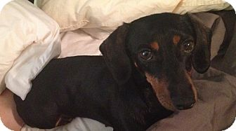 Dachshund Dog for adoption in Toronto, Ontario - Little Foot