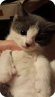 Domestic Shorthair Kitten for adoption in Putnam, Connecticut - Twizzle