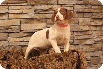 Hound (Unknown Type) Mix Puppy for adoption in Waldorf, Maryland - Tiki