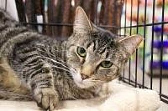 Domestic Shorthair Cat for adoption in Bruce Township, Michigan - Lizzie - CP