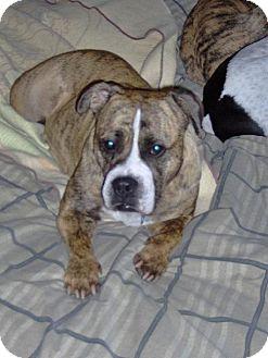 American Bulldog Dog for adoption in Tyrone, Pennsylvania - Winnie