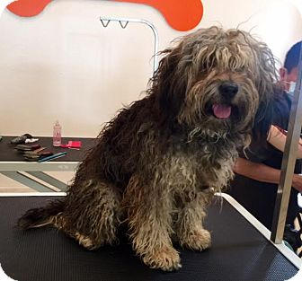 Havanese Mix Dog for adoption in Los Angeles, California - Vince